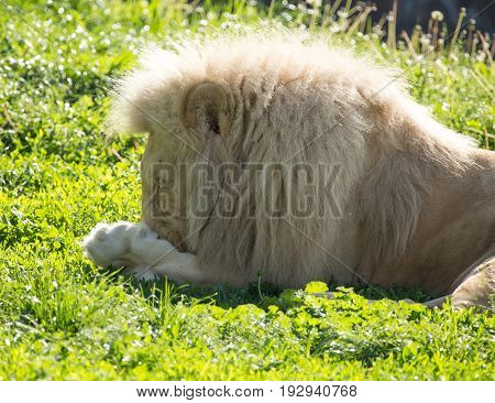 Lion lies on the grass in the wild .