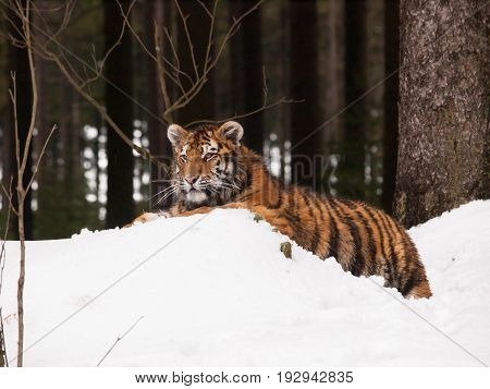 Young siberian tiger lying in forest on snow - Panthera tigris altaica