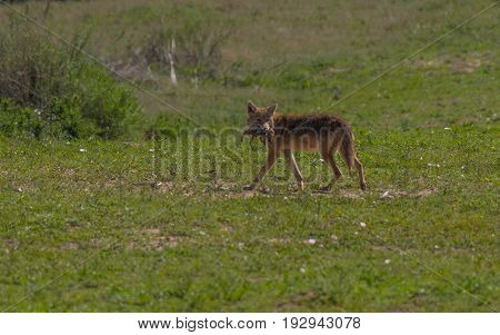 A Coyote in the Plains with Prey in Mouth