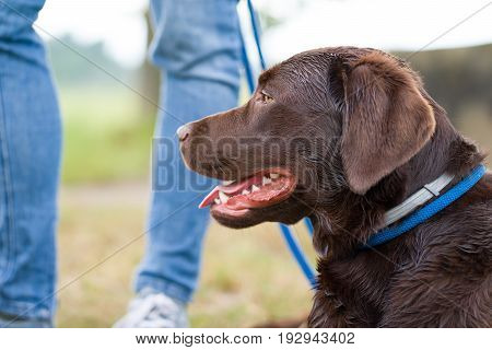dog school - young cute brown labrador retriever puppy on a meadow with a leash around his neck waiting in front of person