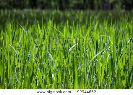 Tall grass countryside background image. Reeds in a rural meadow beside a river. Textured grass or crop backdrop image.