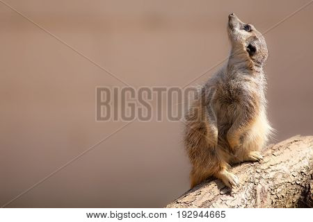 Cute animal nature image with copy space. Meerkat looking up at the sky. Ideal popular wildlfie poster image.
