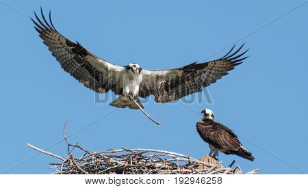 An Osprey Returning to Nest with More Building Supplies