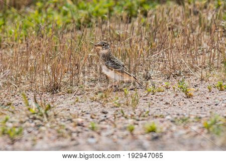 A Sprague's Pipit Foraging for Food in the Colorado Prairie