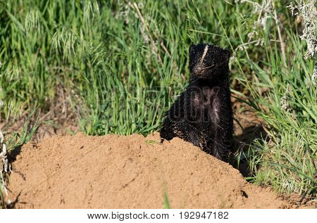 A Striped Skunk Pauses for a Photo at its Den