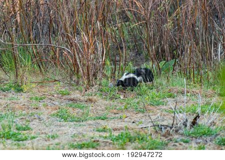A Striped Skunk in a Forested Meadow