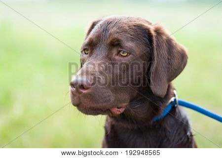young cute labrador retriever dog puppy with bright eyes on a meadow with a leash - profile portrait
