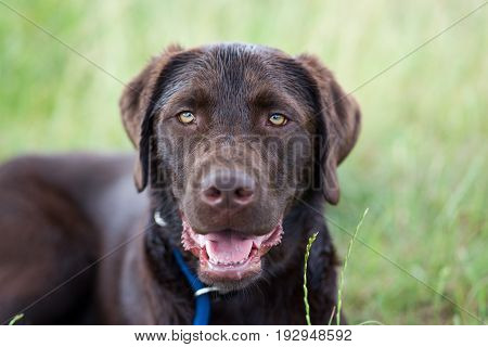 portrait of a young cute brown labrador retriever dog puppy leash playing on a meadow