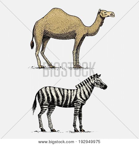 camel and zebra hand drawn, engraved wild animals in vintage or retro style, african zoology set.