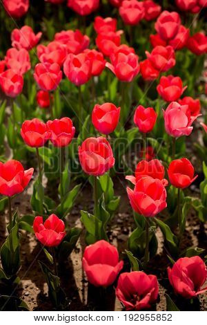 Beautiful red tulips in a park in the nature