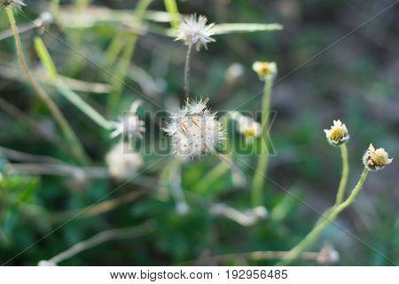 Mexican daisy Tridax daisy Wild Daisy on blur background.