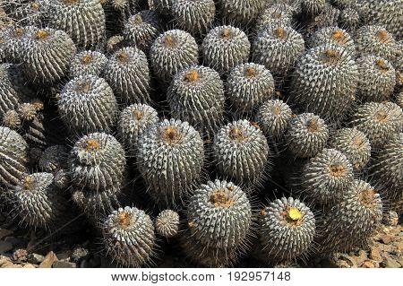 Flowering cactuses in the desert, National Park Llanos De Challe, Atacama, Chile, South America