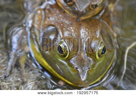 two Bufo toad faces big and small