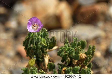 Flower plant in the desert, National Park Llanos De Challe, Atacama, Chile, Sout America