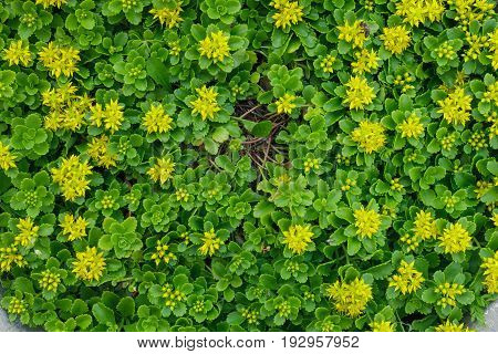 Decorative Small Yellow Flowers Growing On The Flowerbed