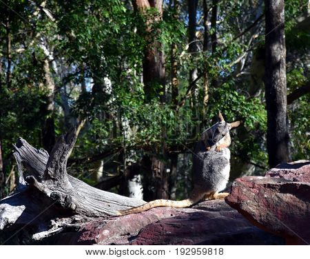 The yellow-footed rock-wallaby (Petrogale xanthopus) is a member of the macropod family.