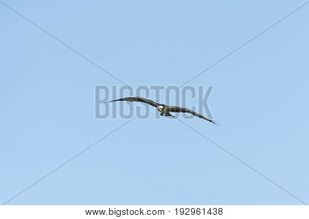 Osprey flying with dead branch for nesting material