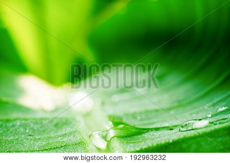 greenery, banana leaf with dew, Close Up for abstract background