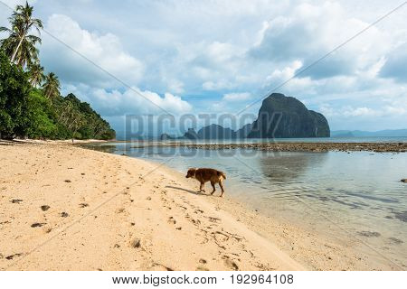 EL NIDO, PALAWAN, PHILIPPINES - MARCH 29, 2017: Dog walking lonely in the beautiful beach of Las Cabanas.