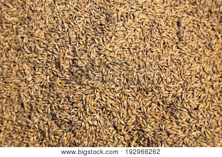 A great background image this photo shows abundant grains of wheat. It symbolizes autumn and harvest time.