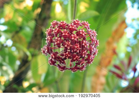 Red hoya flower in rain forest, Thailand