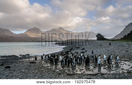 Fortuna Bay, South Georgia, is home to one of the largest King Penguin Rookeries on the Island.
