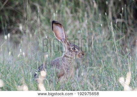 Alert Black-tailed Jackrabbit (Lepus californicus) Eating Grass. Santa Clara County, California, USA.