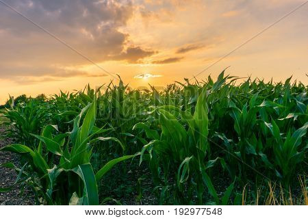 View on a warm Sunrise above a green Maize Field. Close-up of a growing Field in the Morning Light. Growing Plants on a Field.
