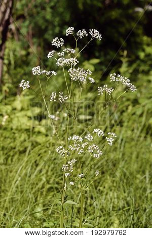 Valeriana Officinalis Under The Sun