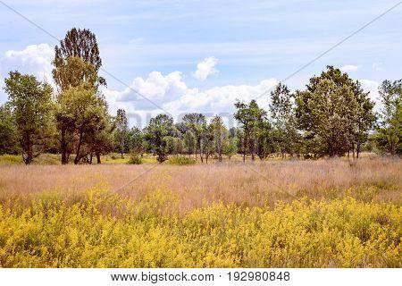 Galium Verum In The Meadow