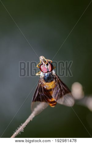 Image of a drosophila melanogaster on a branch. Insect Animal (Diptera)