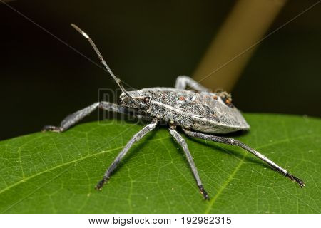 Image of Hemiptera bug on green leaves. Insect Animal