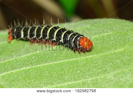 Image of a caterpillar bug on green leaves. Insect Animal