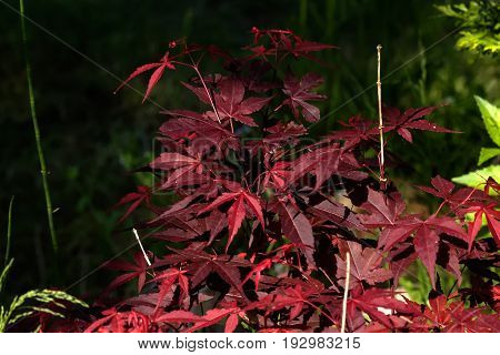 The Japanese maple.  Red leaves of a Japanese maple growing in a summer garden.