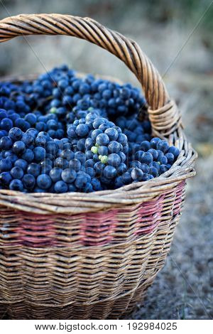 Dark Grapes In A Basket. Grape Harvesting.