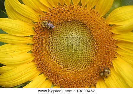 Big sunflower with bee