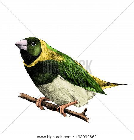 bird of finches sitting on a branch of a tree sketch vector graphics color figure colorful feathers of green yellow