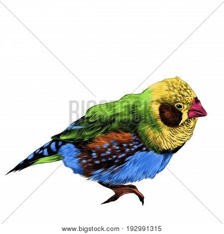 bird amadina sketch vector graphics color figure colorful feathers yellow orange green blue