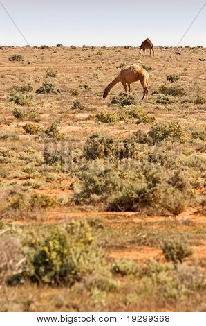 camels grazing on the saltbush in the desert