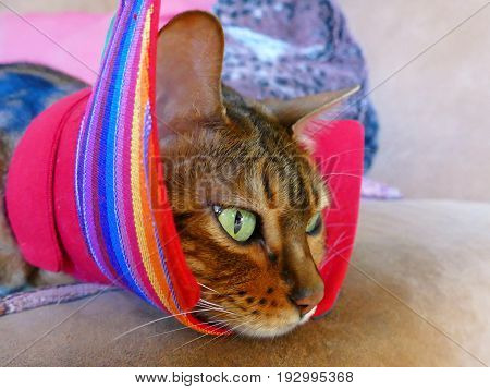 A Bengal Cat With An Alternative Cat Friendly Cone Post-surgery