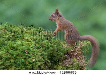 A side view full length profile portrait of an alert red squirrel standing on fauna looking to the left