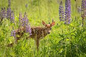 White-Tailed Deer Fawn (Odocoileus virginianus) Stares Out from Lupin Patch - captive animal poster