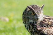 Eagle owl (Bubo bubo) bird of prey looking demure to the ground. Thoughtful owl wildlife image. Close up of face with copy space. poster