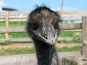 An Ostrich head `s close - up. Farm in background poster