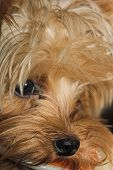Close-up of a cute Yorkshire Terrier playing poster