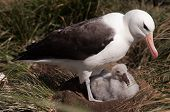 Black-Browed Albatross on their breeding colony on Westpoint Island, the Falklands. poster