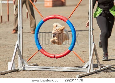 Poodle Jumping Through A Hurdle At Dog Agility Training. Big Fur Blowing In Wind. Action And Sports