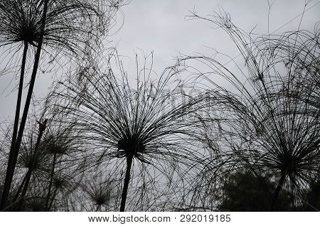 Silhouettes Of Papyrus Sedges With Feathery Flower Clusters Seen Against Gray Sky