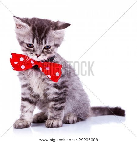 sleepy silver tabby baby cat wearing a big red neck bow on white background