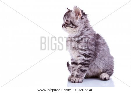 side image of a cute silver tabby baby cat looking at something on white background